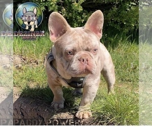 Father of the French Bulldog puppies born on 10/07/2020