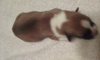 Pembroke Welsh Corgi Puppy For Sale in PUNTA GORDA, FL, USA