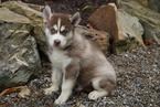 Siberian Husky Puppy For Sale in FREDERICKSBG, Ohio,
