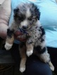 Australian Shepherd Puppy For Sale in HARDINSBURG, IN