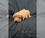 Puppy 1 Golden Labrador