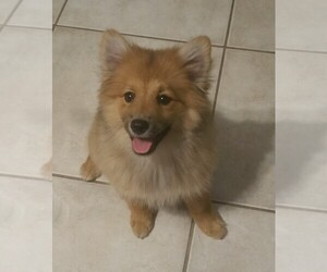 Pomeranian Puppy for Sale in SEBASTIAN, Florida USA