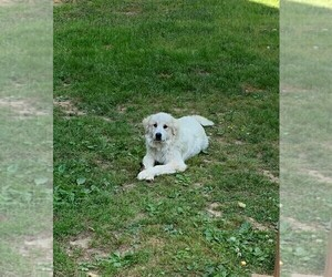 Great Pyrenees Puppy for sale in BUMPASS, VA, USA