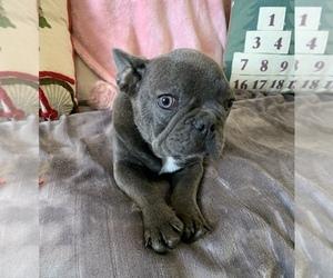 French Bulldog Puppy for Sale in JOHNS ISLAND, South Carolina USA