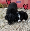 Miniature Australian Shepherd Puppy For Sale in CHELSEA, OK, USA