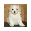 Zuchon Puppy For Sale in TUCSON, AZ, USA
