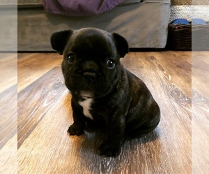 French Bulldog Puppy for Sale in BURTON, Ohio USA