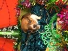 Cowboy Corgi Puppy For Sale in BEMIDJI, MN, USA