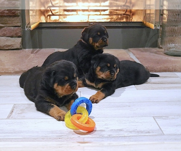 Medium Photo #5 Rottweiler Puppy For Sale in FONTANA, CA, USA