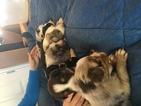 Miniature Australian Shepherd Puppy For Sale in SIDNEY CENTER, NY