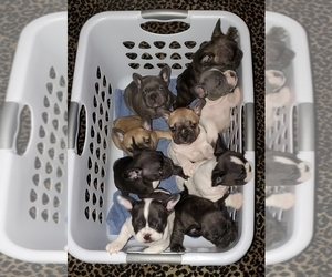 French Bulldog Puppy for Sale in PORTLAND, Oregon USA