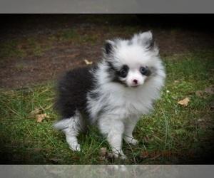 Pomeranian Puppy for Sale in DINWIDDIE, Virginia USA