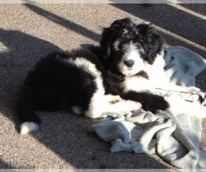 Old English Sheepdog-Sheepadoodle Mix Puppy for Sale in BURTRUM, Minnesota USA