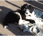 Old English Sheepdog-Sheepadoodle Mix Puppy For Sale in BURTRUM, MN, USA