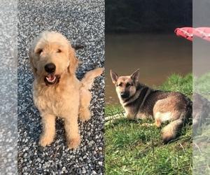 German Shepherd Dog-Goldendoodle Mix Puppy for Sale in BALDWIN, Georgia USA
