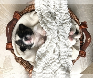Shih Tzu Puppy for sale in CLEARWATER, FL, USA