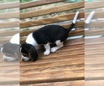 Small Photo #2 Beagle Puppy For Sale in SPENCER, TN, USA