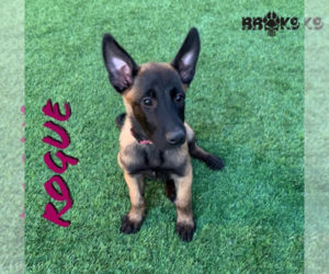 Belgian Malinois Dog for Adoption in CHANDLER, Arizona USA