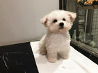 Bichon Frise Puppy For Sale in SAN JOSE, CA, USA