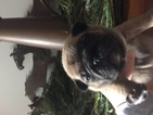 French Bulldog Puppy For Sale in AURORA, IL
