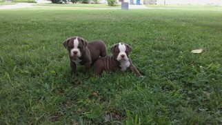 Olde English Bulldogge Puppy For Sale in TULSA, OK, USA