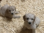 Goldendoodle Puppy For Sale in SOUTH EASTON, Massachusetts,