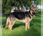 German Shepherd Dog Puppy For Sale in COLETA, IL, USA
