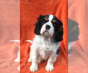 Cavalier King Charles Spaniel Puppy for Sale in FALLBROOK, California USA