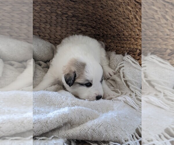 Medium Photo #50 Great Pyrenees Puppy For Sale in FALCON, CO, USA