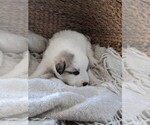 Small #49 Great Pyrenees