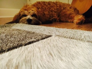 Cavapoo Puppy For Sale in BRENTWOOD, TN, USA