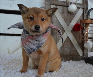 Border Collie-Shiba Inu Mix Puppy for sale in HONEY BROOK, PA, USA