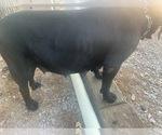 Small #23 Boerboel