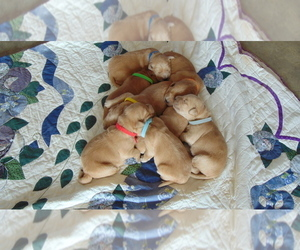 Golden Retriever Puppy for Sale in WESTCLIFFE, Colorado USA