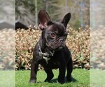French Bulldog Puppy For Sale in WAYCROSS, GA, USA