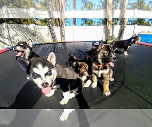 Siberian Husky Puppy for Sale in WILDOMAR, California USA
