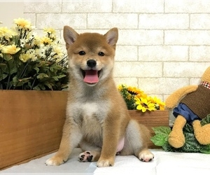 Shiba Inu Puppy for Sale in CHICAGO, Illinois USA