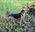 Airedale Terrier Puppy For Sale in SAINT GEORGE, UT, USA