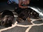 German Shepherd Dog Puppy For Sale in MILLTOWN, IN, USA