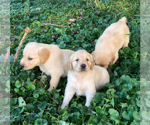 Golden Retriever Puppy for sale in EAST FREEHOLD, NJ, USA
