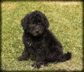 Aussie-Poo Puppy For Sale in WAYLAND, IA, USA