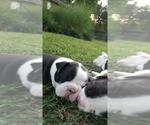 Small #11 Faux Frenchbo Bulldog