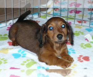 Dachshund Puppy for sale in ORO VALLEY, AZ, USA