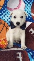 German Shepherd Dog Puppy for sale in EDEN, PA, USA
