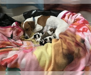Jack Russell Terrier Puppy for sale in BROOKER, FL, USA