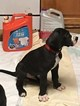 Great Dane Puppy For Sale in NEWNAN, GA,