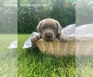 Labrador Retriever Puppy for sale in CROTHERSVILLE, IN, USA