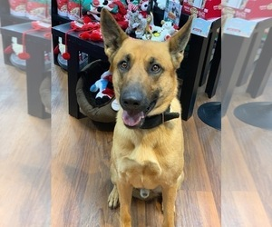 Belgian Malinois Puppy for Sale in BURLINGTON, Connecticut USA