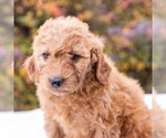 Small #3 Goldendoodle-Poodle (Miniature) Mix