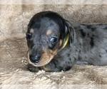 Puppy 7 Dachshund